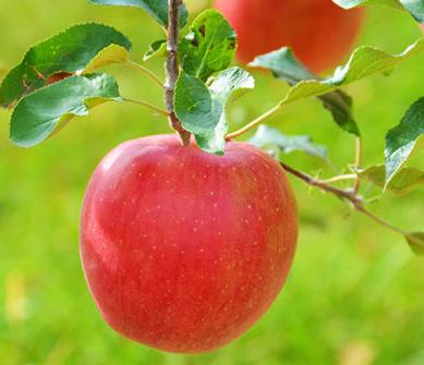 信州のりんご シナノスイート 5キロセット イメージ