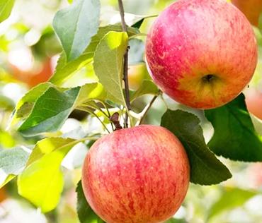 今が旬!9月に早く食べられる信州のりんご サンつがる 5kg イメージ
