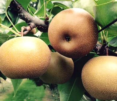 信州の梨(南水)約5キロ!信州が生んだ特に甘い梨です! イメージ