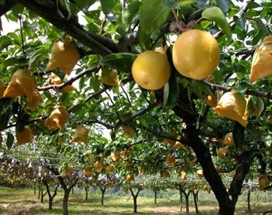ここのえまち産電子技法栽培梨 約5kg イメージ