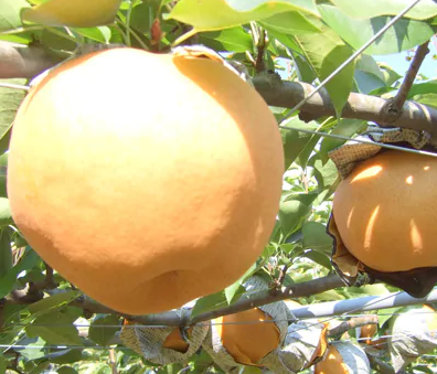 柴沼梨園の梨(愛宕)5kg イメージ