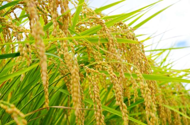 熊本県産ヒノヒカリ<無洗米> 10kg