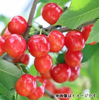 山形のさくらんぼ(紅秀峰) 500g×2パック箱詰め イメージ