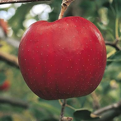 りんご「サンジョナ」10kg 家庭用 イメージ
