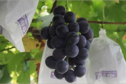 ピオーネ(種無しブドウ)約2kg さかがみ農園  イメージ
