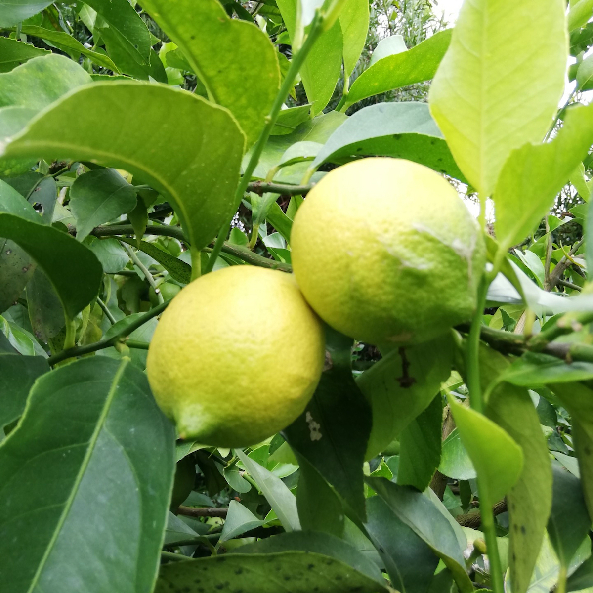 有機JAS認証!大崎上島のオーガニック完熟レモン約1kg イメージ