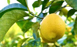 〈12~2月発送〉広島産あふれる果汁とほのかに感じる甘みが特徴のイエローレモン約3kg