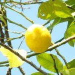 【2019年最新版】ふるさと納税でもらえる「レモン」の返礼品まとめ!