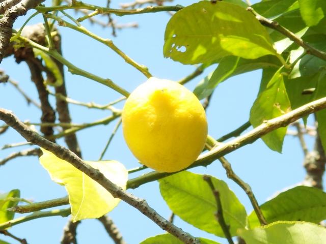 【2019年最新版】ふるさと納税でもらえるレモンの返礼品まとめ!